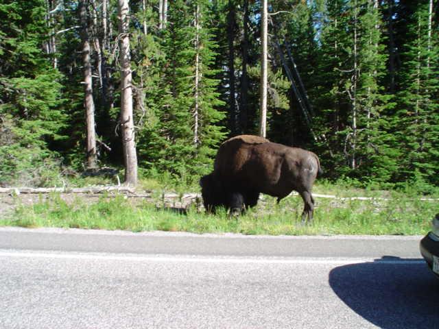 A buffalo in Yellowstone NP