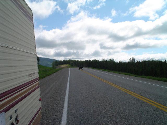 A bear crosses the Alaska Highway