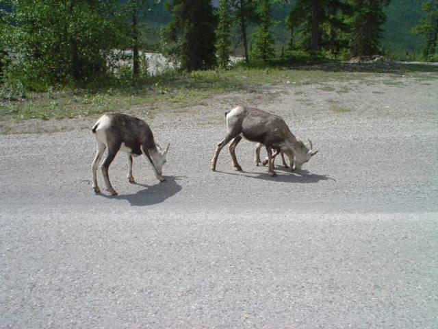 mountain sheep/goats