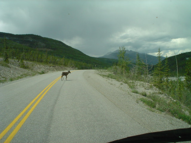 caribou crossing road