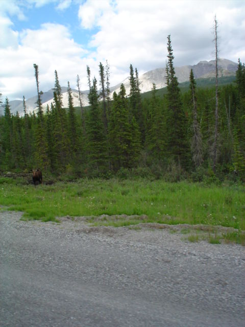 bull moose grazing by the highway